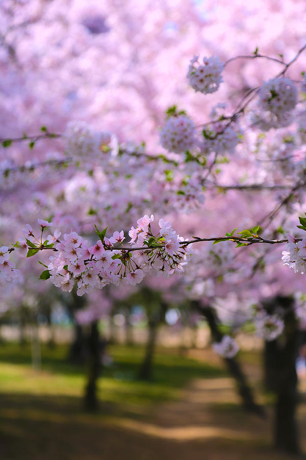 Cherry Blossoms Photograph - Cherry Blossom by Mitch Cat
