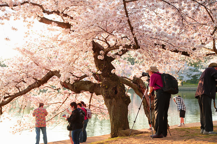 Architectural Photograph - Cherry Blossoms 2013 - 006 by Metro DC Photography