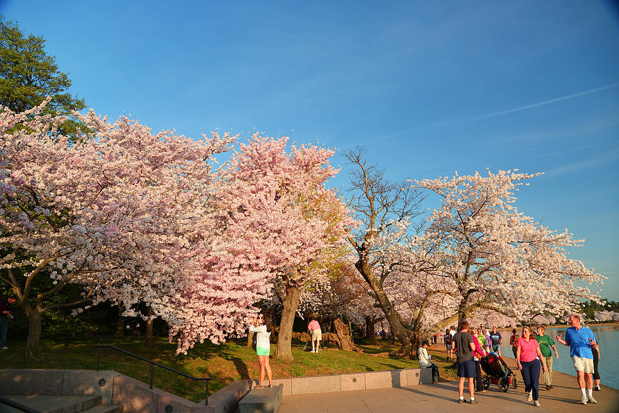 Architectural Photograph - Cherry Blossoms 2013 - 015 by Metro DC Photography