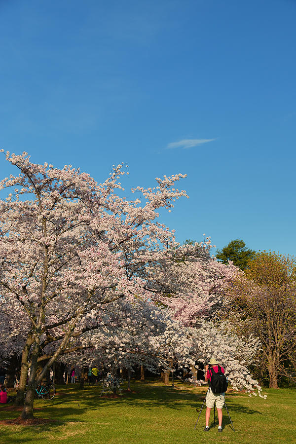 Architectural Photograph - Cherry Blossoms 2013 - 029 by Metro DC Photography