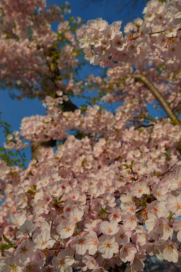 Cherry Blossoms 2013 - 034 Photograph
