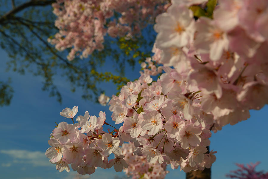 Architectural Photograph - Cherry Blossoms 2013 - 035 by Metro DC Photography