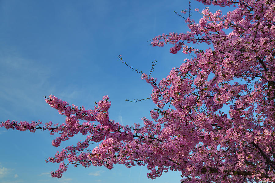 Architectural Photograph - Cherry Blossoms 2013 - 037 by Metro DC Photography