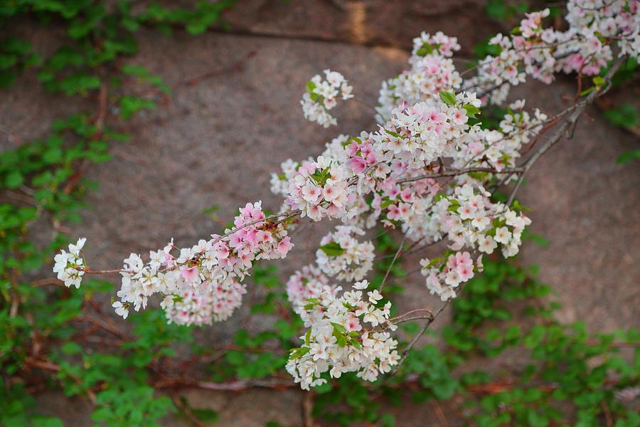 Cherry Blossoms 2013 - 067 Photograph