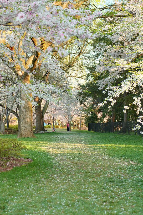 Cherry Blossoms 2013 - 075 Photograph