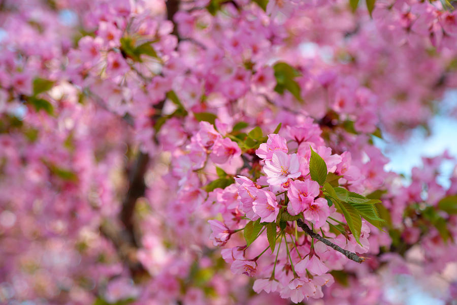 Cherry Blossoms 2013 - 096 Photograph