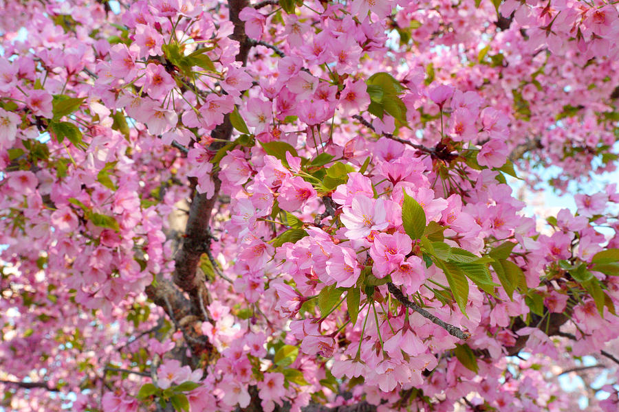 Cherry Blossoms 2013 - 097 Photograph  - Cherry Blossoms 2013 - 097 Fine Art Print