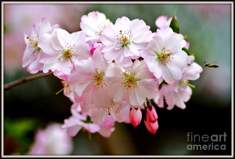 Cherry Blossoms And A Bee Photograph
