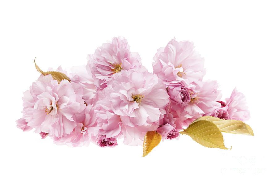 Cherry Blossoms Arrangement Photograph