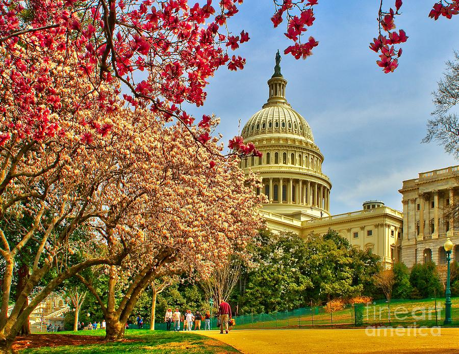 Cherry Blossoms At The Capitol Photograph  - Cherry Blossoms At The Capitol Fine Art Print