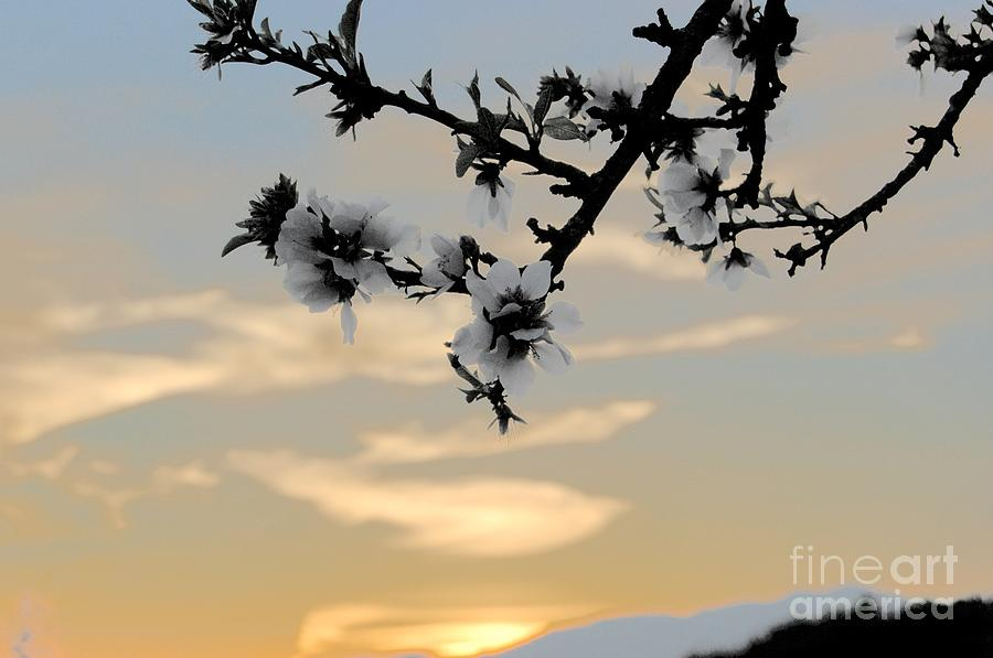 Cherry Blossoms Photograph  - Cherry Blossoms Fine Art Print