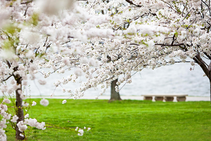 Cherry Blossoms On The Shore Of Fort Mchenry Photograph
