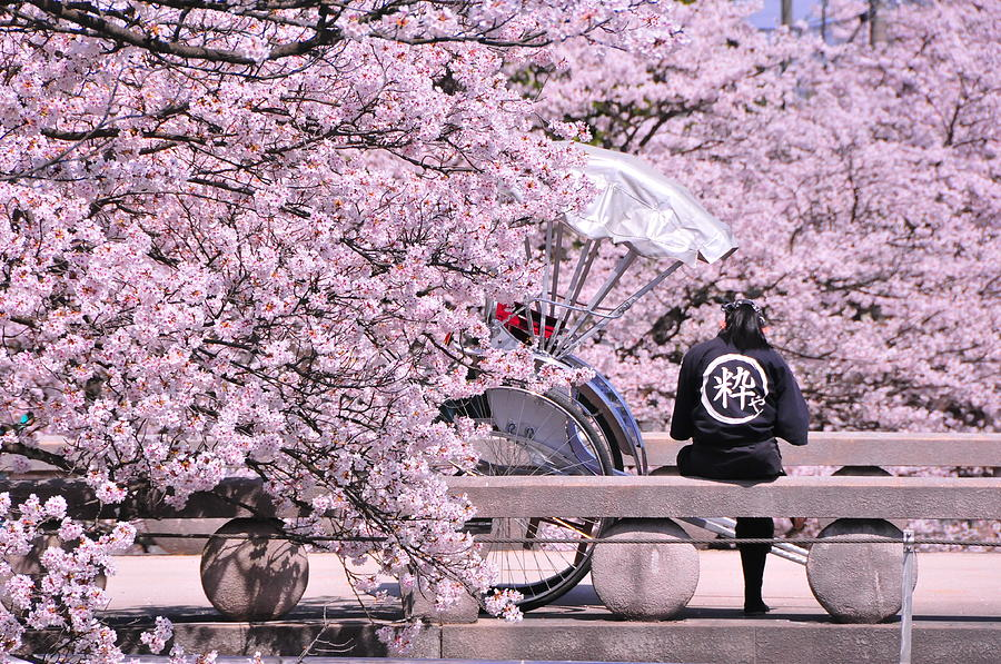 Cherry Blossoms Road Photograph