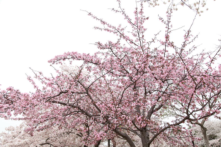 America Photograph - Cherry Blossoms - Washington Dc - 0113123 by DC Photographer