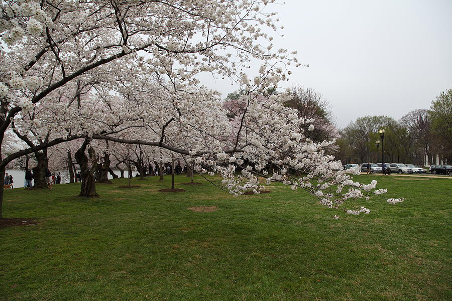 Cherry Blossoms - Washington Dc - 0113130 Photograph