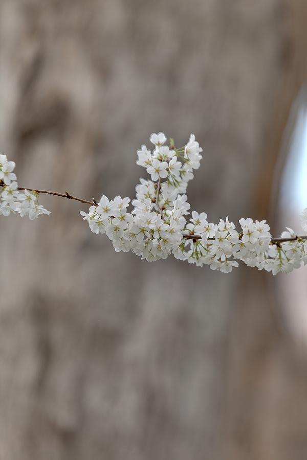 America Photograph - Cherry Blossoms - Washington Dc - 011355 by DC Photographer