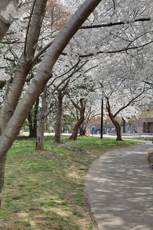 Cherry Blossoms - Washington Dc - 011360 Photograph