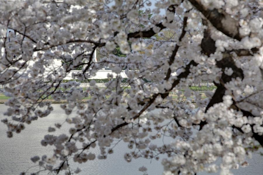 America Photograph - Cherry Blossoms With Jefferson Memorial - Washington Dc - 011338 by DC Photographer