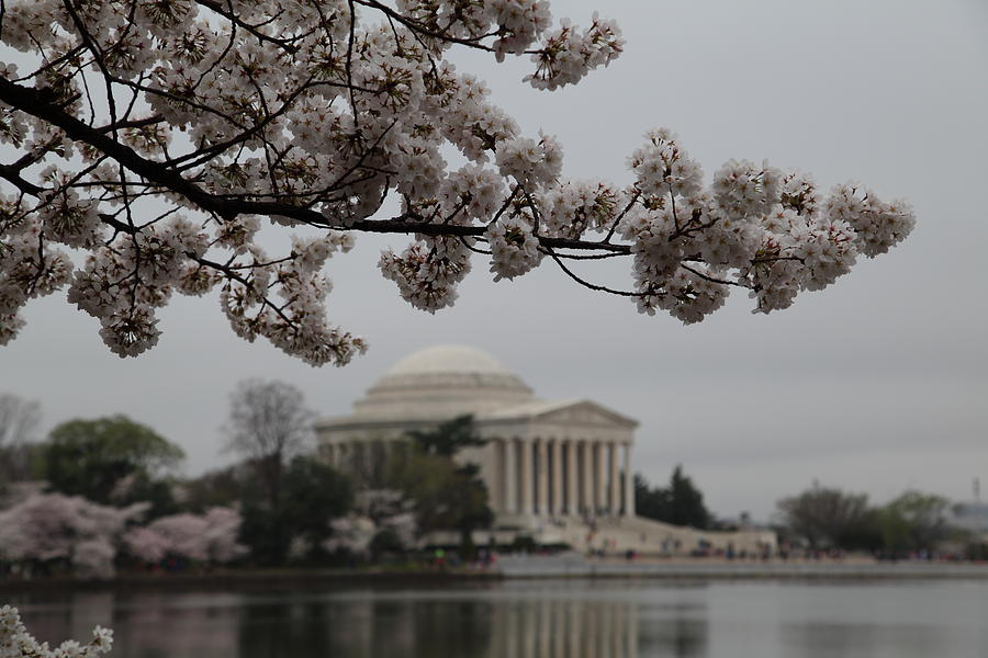 Cherry Blossoms With Jefferson Memorial - Washington Dc - 011345 Photograph
