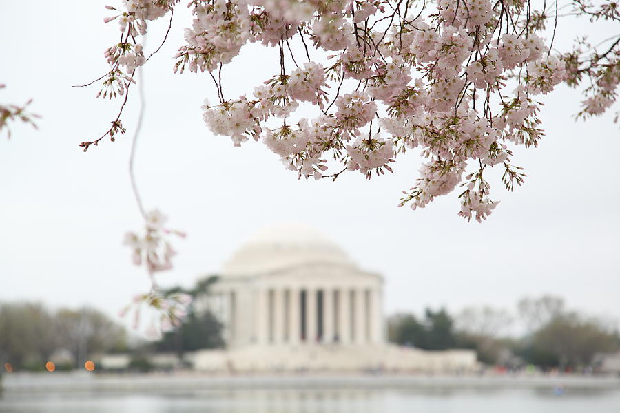 Cherry Blossoms With Jefferson Memorial - Washington Dc - 011350 Photograph