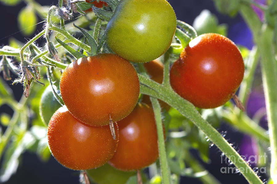 Cherry Tomatoes On The Vine by Sharon Talson