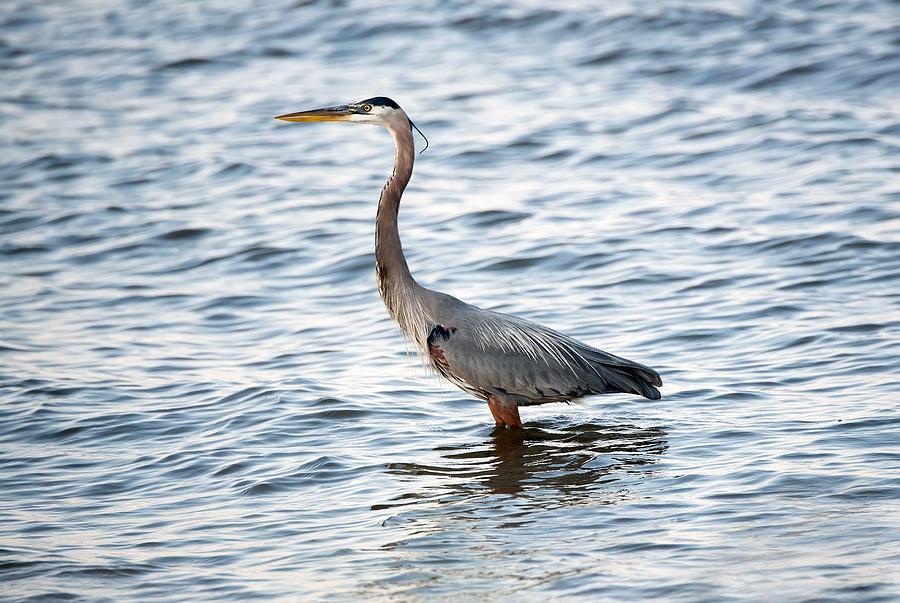 adult bay blue community heron