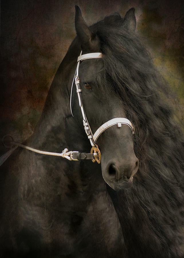 Friesian Photograph - Chiaroscuro by Fran J Scott