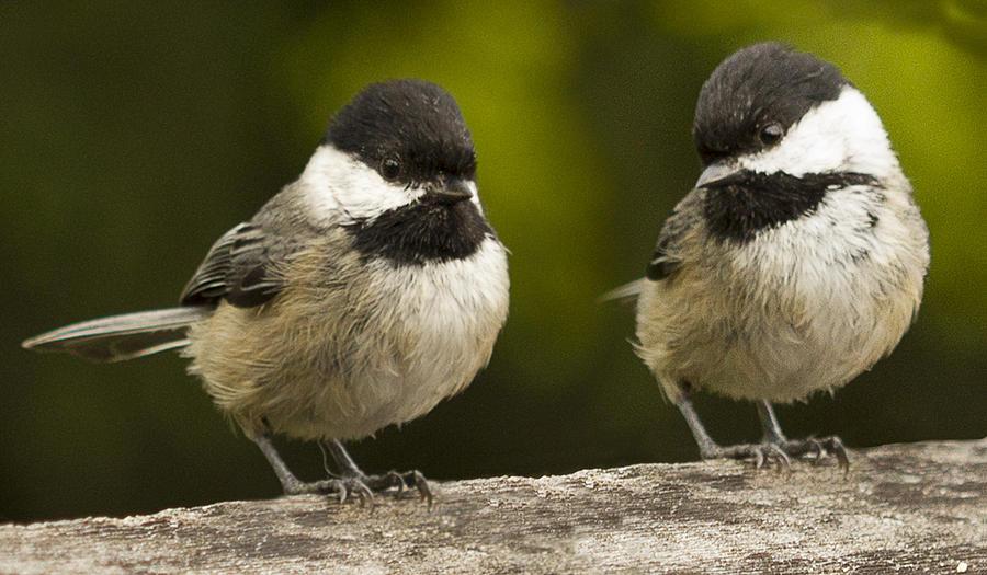 Chickadee Photograph - Chickadee Dee Dee by Jean Noren
