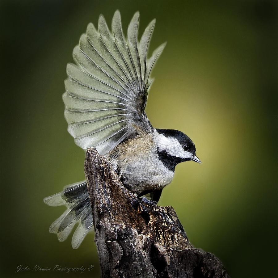 Chickadee landing - photo#9