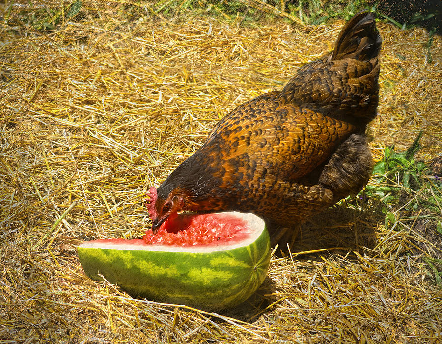Chicken And Her Watermelon Photograph  - Chicken And Her Watermelon Fine Art Print