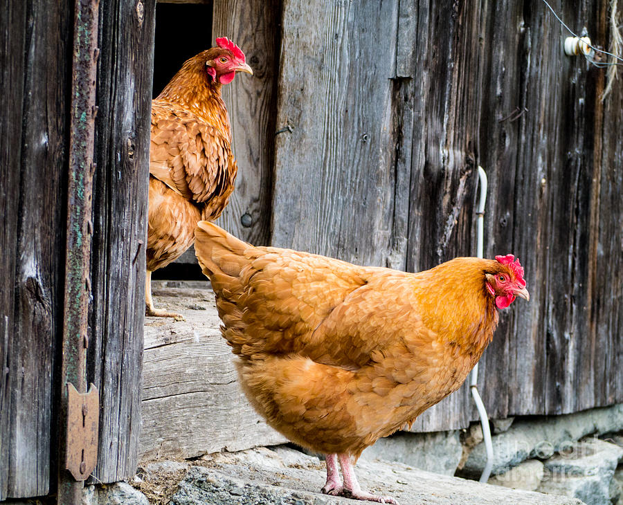 Chickens At The Barn Photograph
