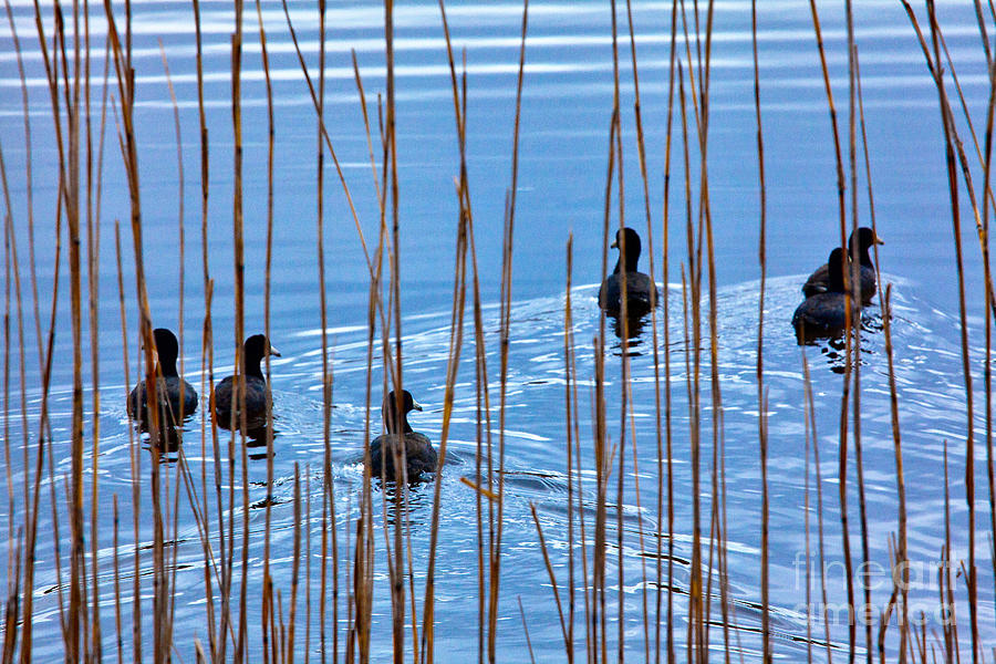 Chicks In Water With Reeds On The Outer Banks I Photograph