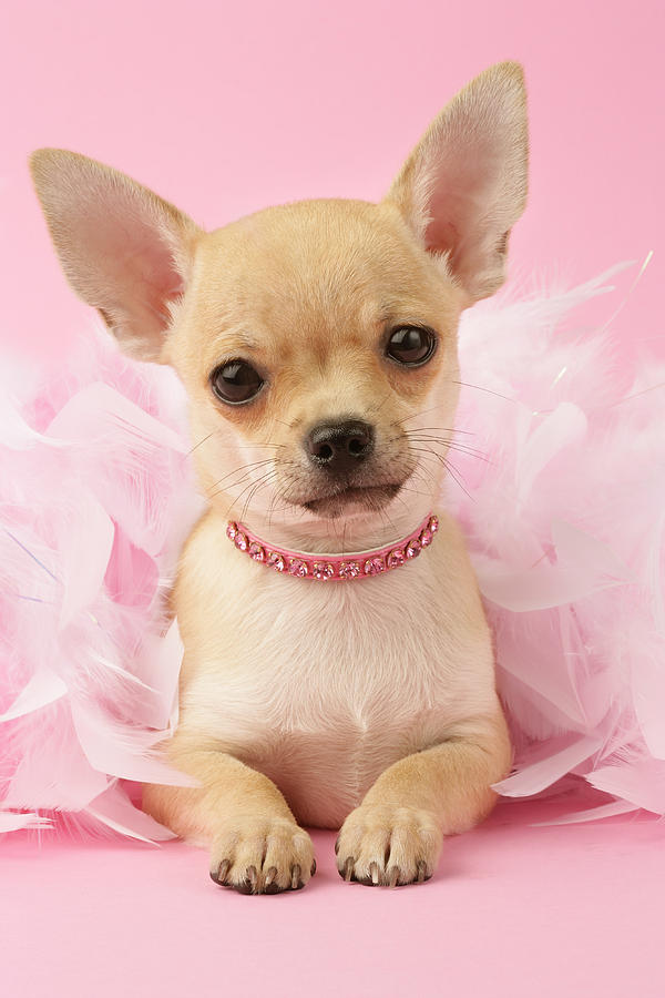 Chihuahua With Feather Boa Photograph