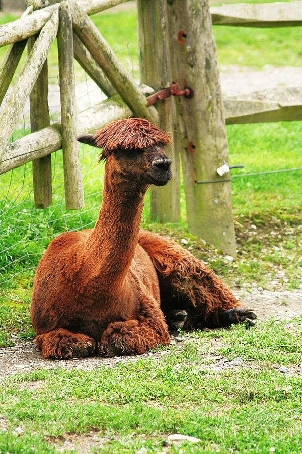 Alpaca Photograph - Chill-paca by Christopher Hoffman