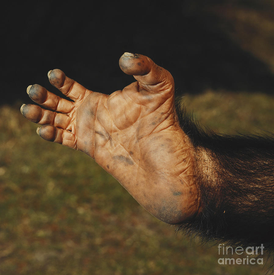 Chimpanzee Foot Photograph By Toni Angermayer