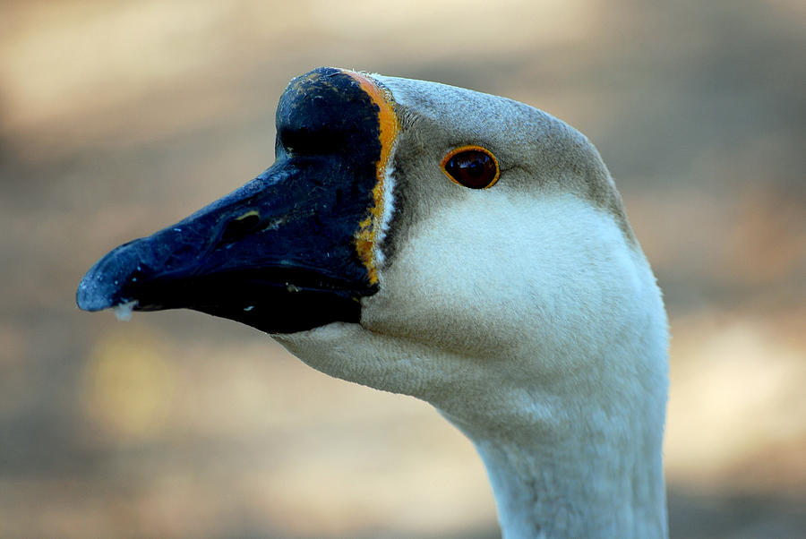 Portraits Photograph - Chinese Goose by Lisa Phillips