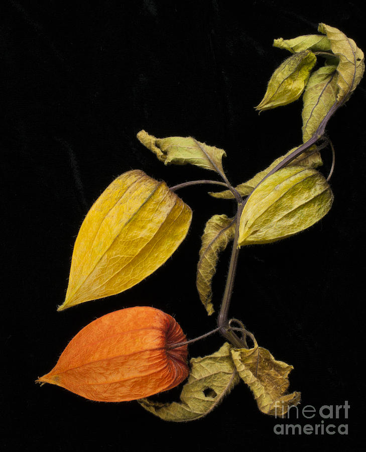 chinese lantern physalis alkekengi photograph by ewa hearfield. Black Bedroom Furniture Sets. Home Design Ideas