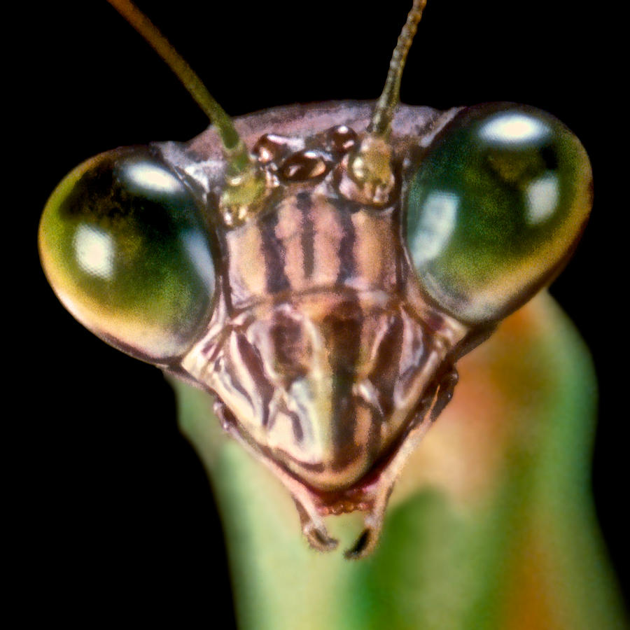Chinese Praying Mantis Macro Closeup #7 Photograph
