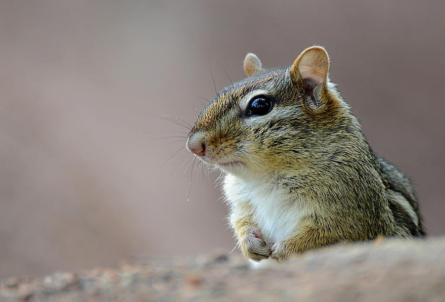 Chipmunk Photograph