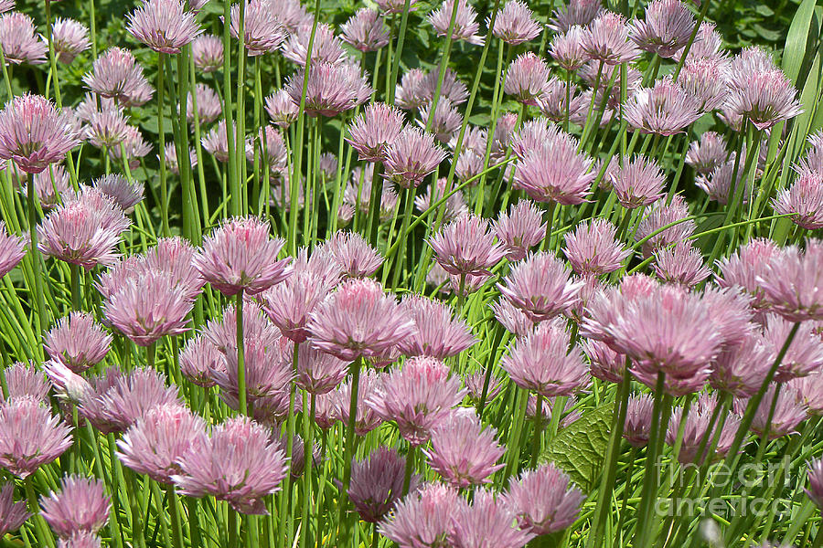 Chive Blossoms 2010 Photograph