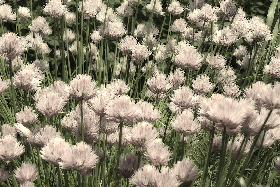 Chive Blossoms In White Photograph