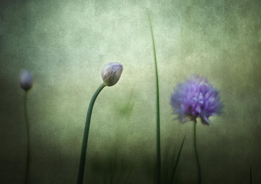 Chives In December Photograph