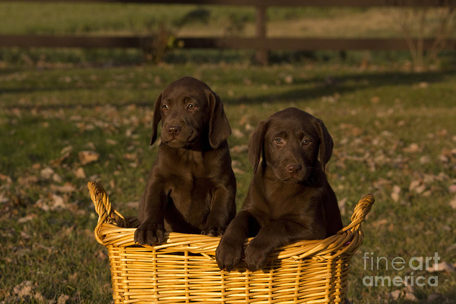Lab Photograph - Chocolate Labrador Retriever Pups by Linda Freshwaters Arndt