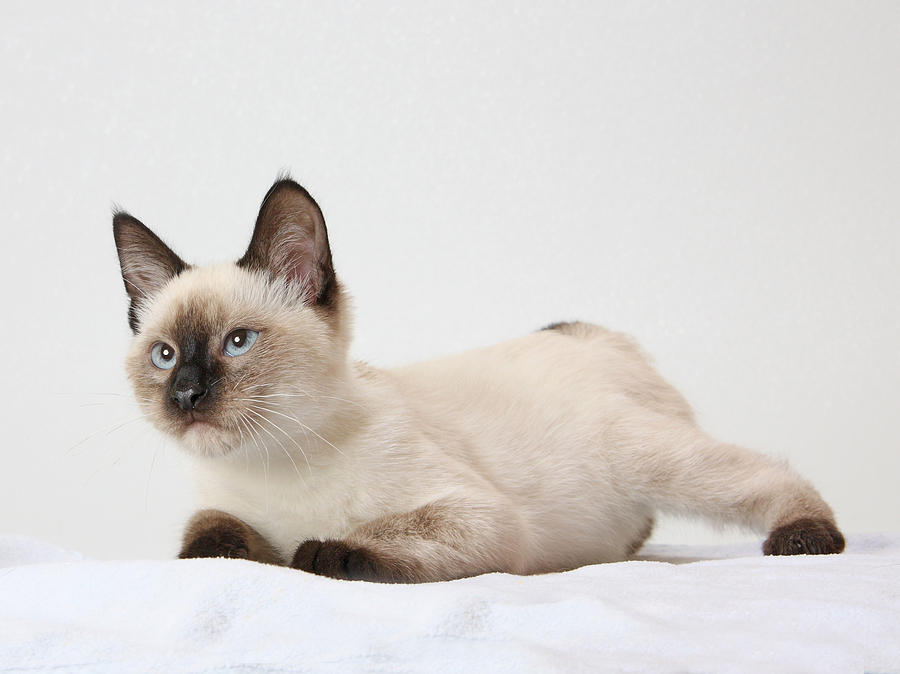 chocolate point siamese photograph by kimber butler