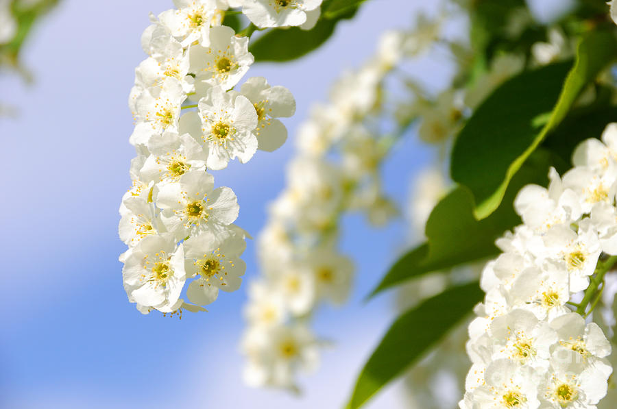 Choke Cherry In Bloom Photograph