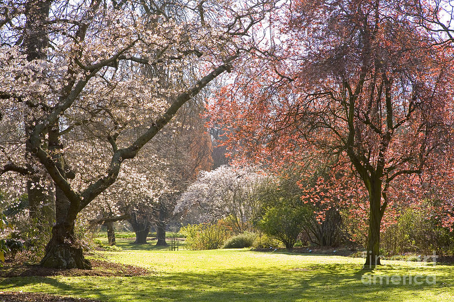 Christchurch Blossom In Hagley Park Photograph