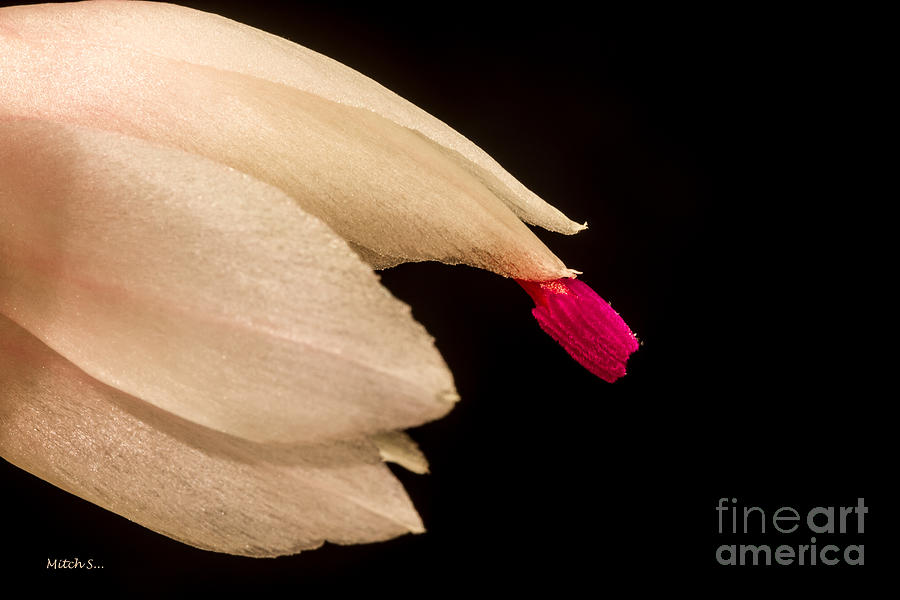 Christmas Cactus Flower Glass Art  - Christmas Cactus Flower Fine Art Print