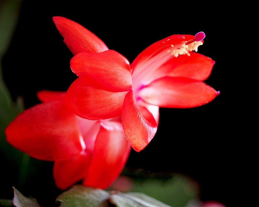 Christmas Cactus Flower Photograph  - Christmas Cactus Flower Fine Art Print