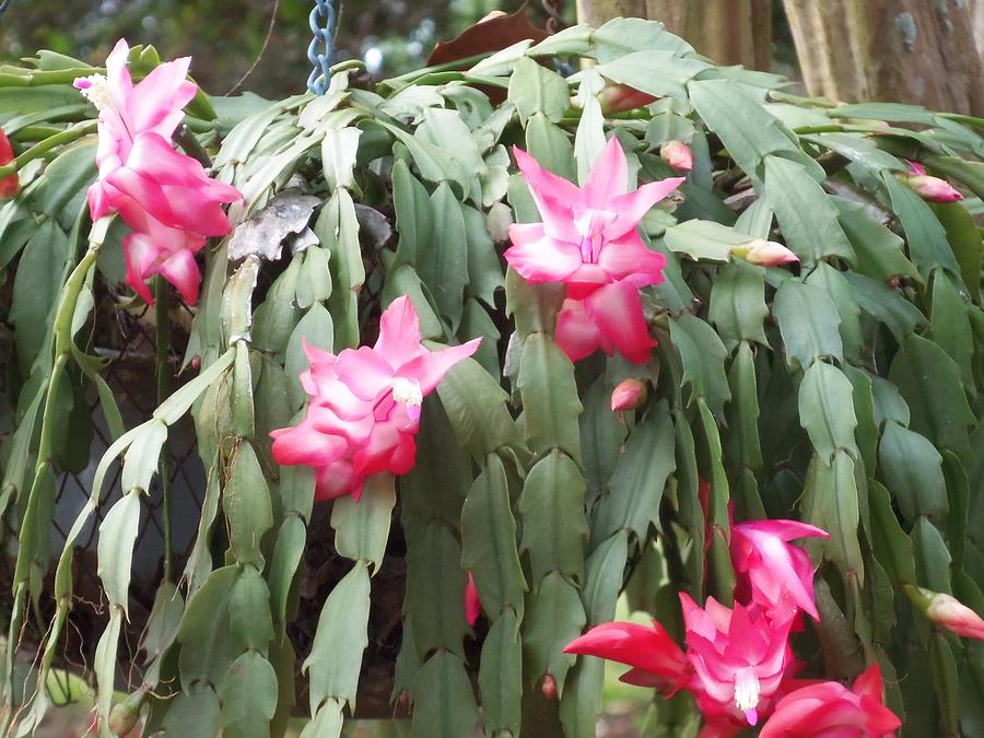 how to get a christmas cactus to bloom at christmas