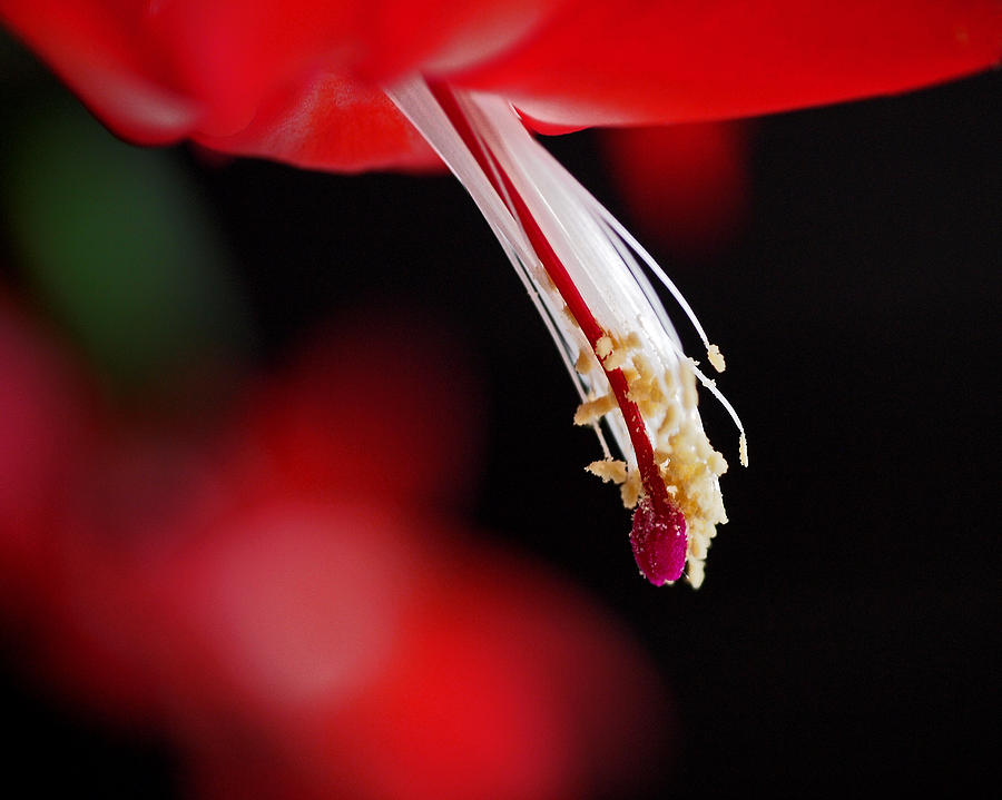 Christmas Cactus Pistil And Stamens Photograph  - Christmas Cactus Pistil And Stamens Fine Art Print